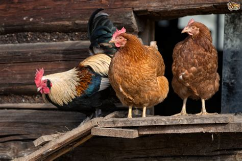 The Importance of Ventilation in the Chicken Coop   Pets4Homes