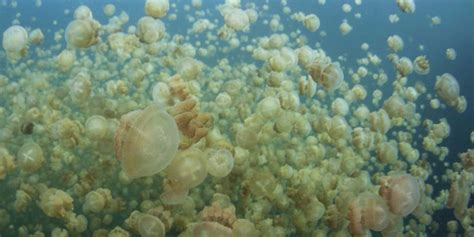 Is peeing on a jellyfish sting good or bad for your skin