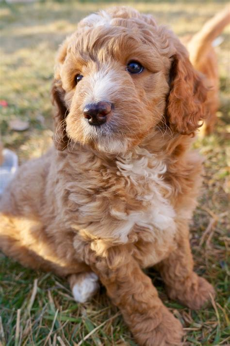 Download goldendoodle puppies southern california, Red and
