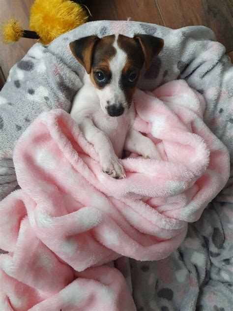 Cute Jack Russell -female- Puppy for sale   in Liverpool