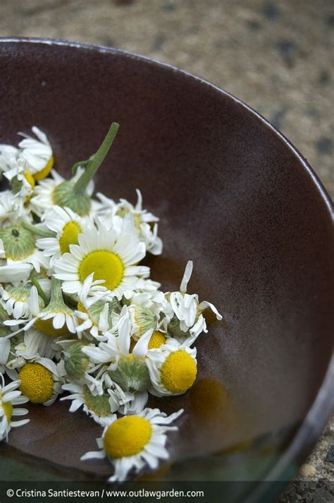 The very first chamomile harvest