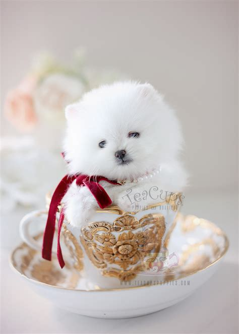 Teacup Pomeranian Puppies For Sale in Miami, Ft