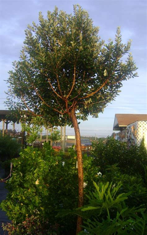 Buy Asian Guava Tree, For Sale in Orlando, Kissimmee
