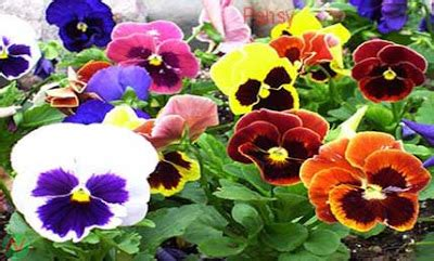 Des Idées Pour Pansy Flower Meaning In Tamil ~ Spot and Stripe