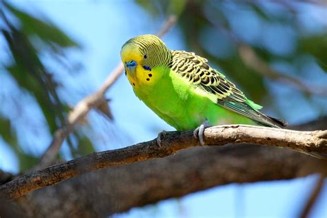 Lineolated Parakeet Facts, Care as Pets, Behavior, Price