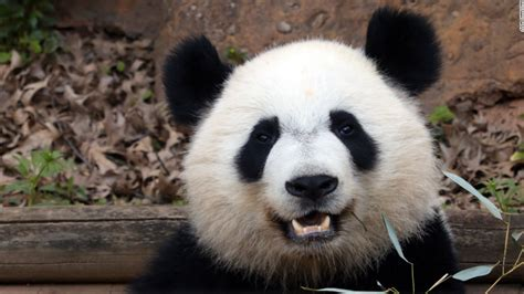 Pandas: A zoo's mission to help save them - CNN