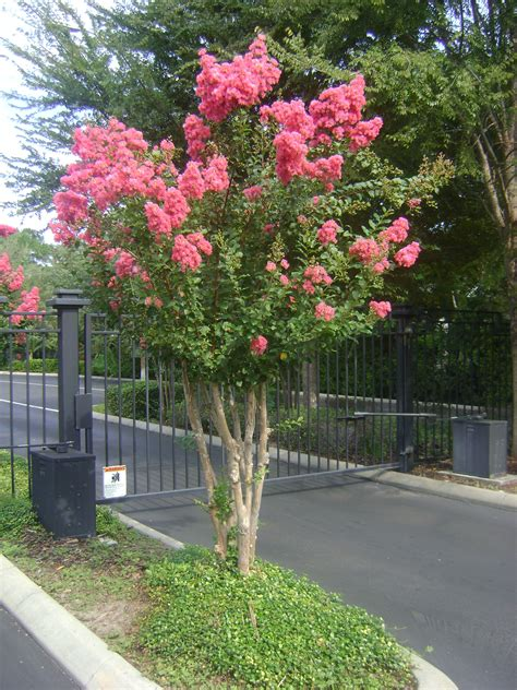 Buy Crepe Myrtle Trees, For Sale in Orlando, Kissimmee