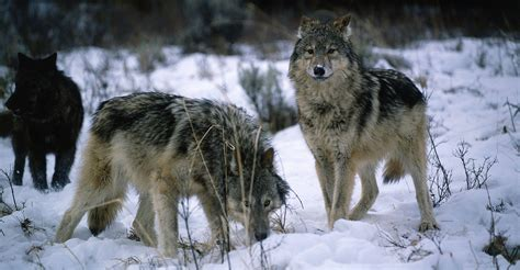 Officials prepare to relocate wolves to Isle Royale park