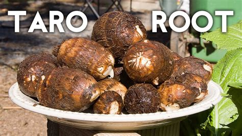 Growing Taro Root Plant - Tips & Harvest - YouTube