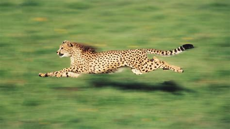 The Fastest Animal On Earth Is Not A Cheetah   Fast