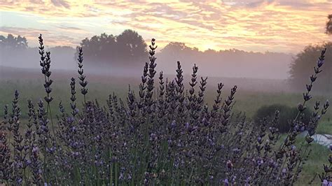 A Trip To Georgia's Neverending Lavender Field Will Make