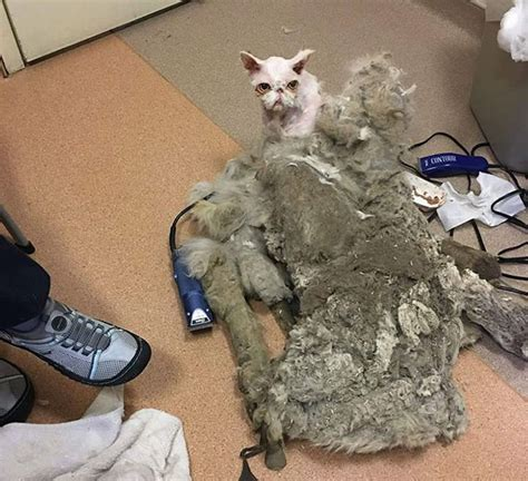 Cat Found In Basement With 5 Lbs Of Matted Fur