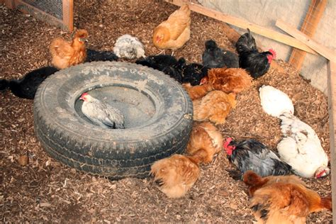 How to make an indoor dust bath for your chickens? | The