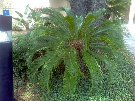 Buy King Sago Palm Tree, For Sale in Orlando, Kissimmee