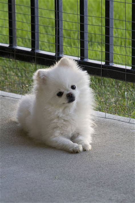 Pure White Pomeranian puppies for Sale FOR SALE ADOPTION