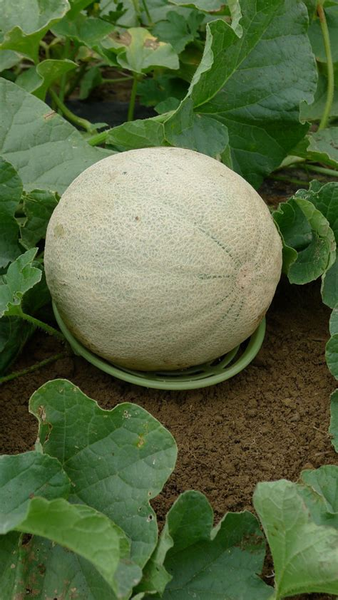 Melon and Squash Cradles for Even Ripening   Gardener's Supply